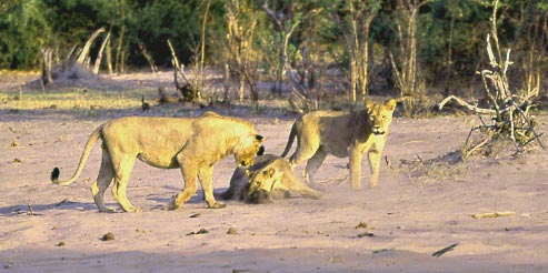 Picture of lion lunging at mongoose