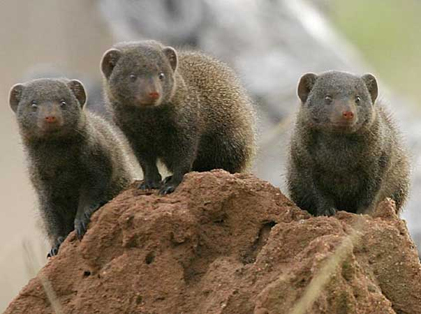 Dwarf mongoose trio on top of termite mound