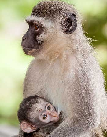 Vervet monkey suckling baby, Kruger National Park
