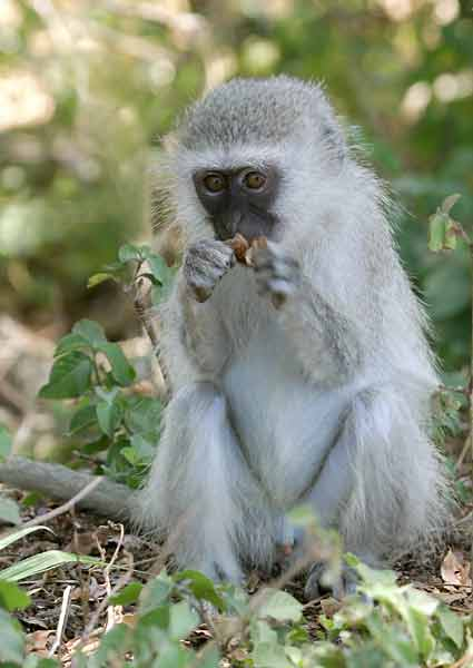 Monkey nibbling on seed pod