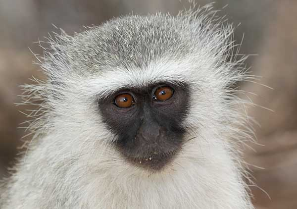 Vervet monkey portrait, Kruger National Park, South Africa