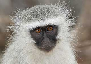 Monkey close-up, Kruger Park