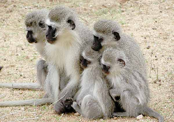 Monkey family in a huggle
