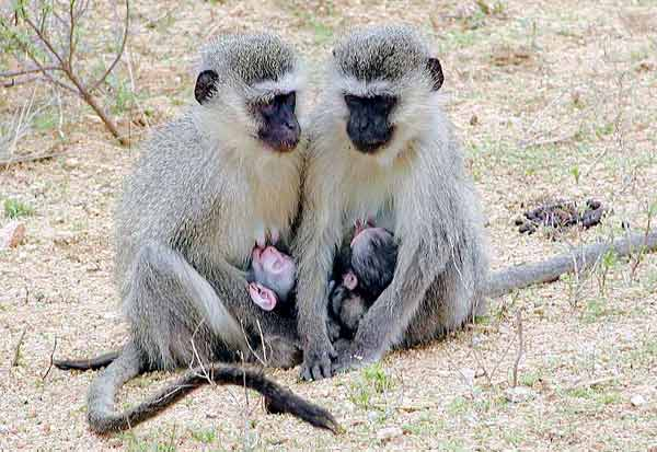 Monkey mothers feeding babies