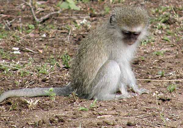 Young vervet monkey