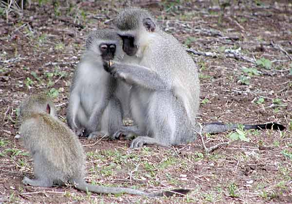 Monkeys foraging for food