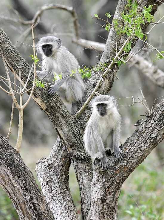 Pair of monkeys in tree - graphic
