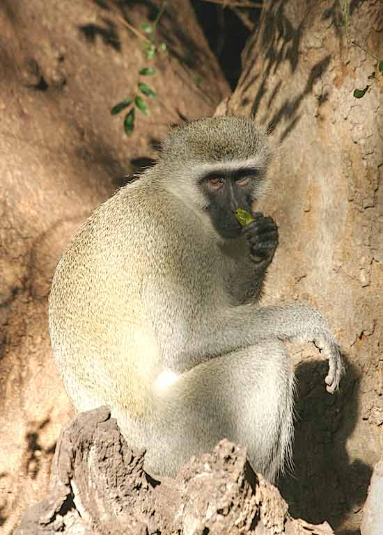 Monkey in tree - image