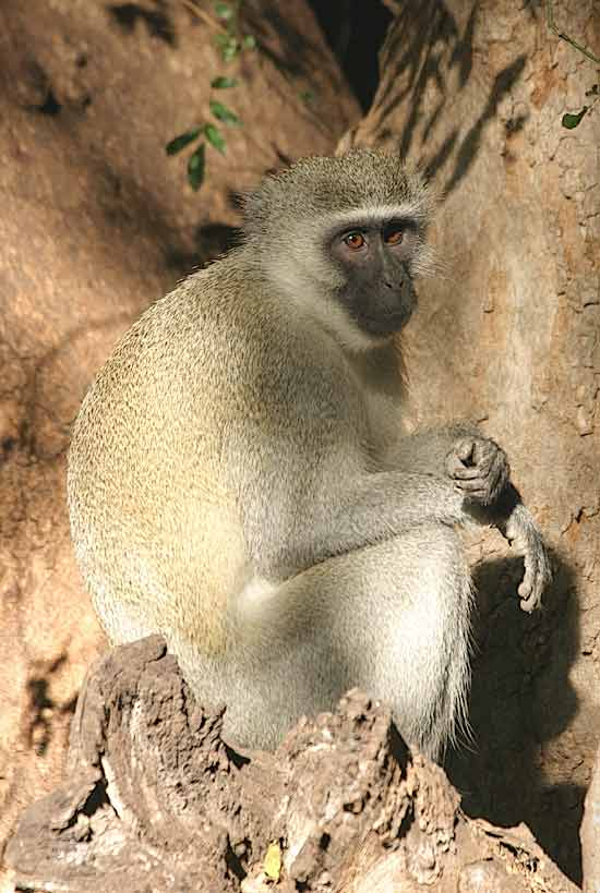 Adult Vervet Monkey - graphic