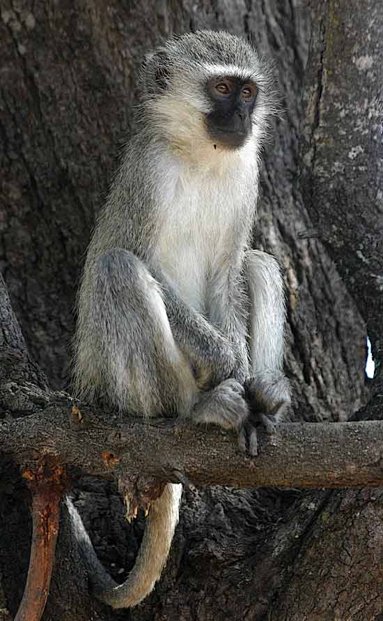 Monkey sitting upright on tree branch