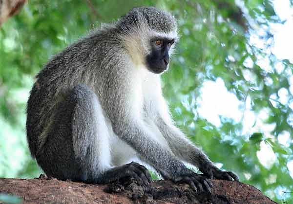 Vervet monkey on tree stump