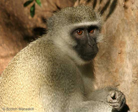 Vervet Monkey looking pensive