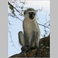 Vervet monkey perched on log