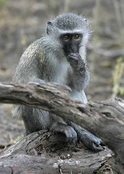 Monkey with hand to its mouth