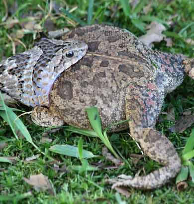 Night adder trying to swallow bloated frog