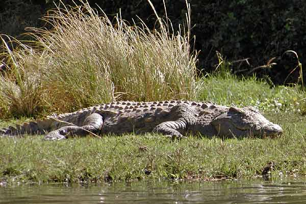 Nile crocodile basking on grassy riverbank, Zambezi River