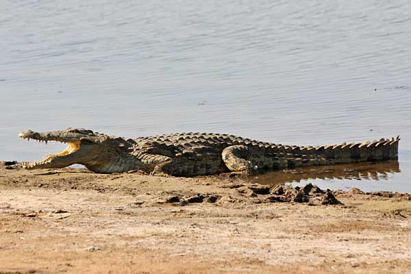 Nile crocodile (Crocodylus niloticus) lying with mouth open