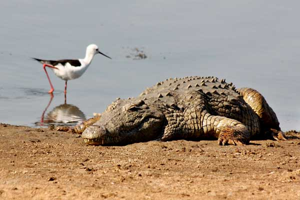 Nile Crocodile and Blackwinged Stilt
