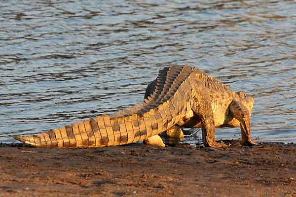 Nile crocodile (Crocodylus niloticus) standing up to enter water