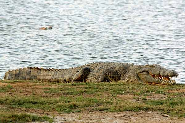 Nile crocodile (Crocodylus niloticus) lying on grassy bank