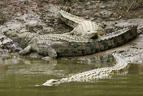 Nile crocodiles lying on muddy riverbank
