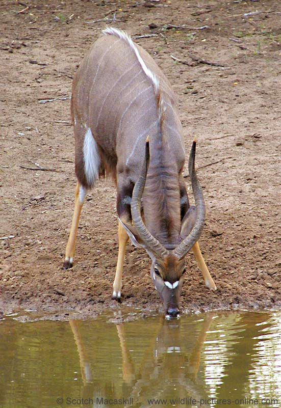 Nyala bull drinking from waterhole, Mkuzi Game Reserve