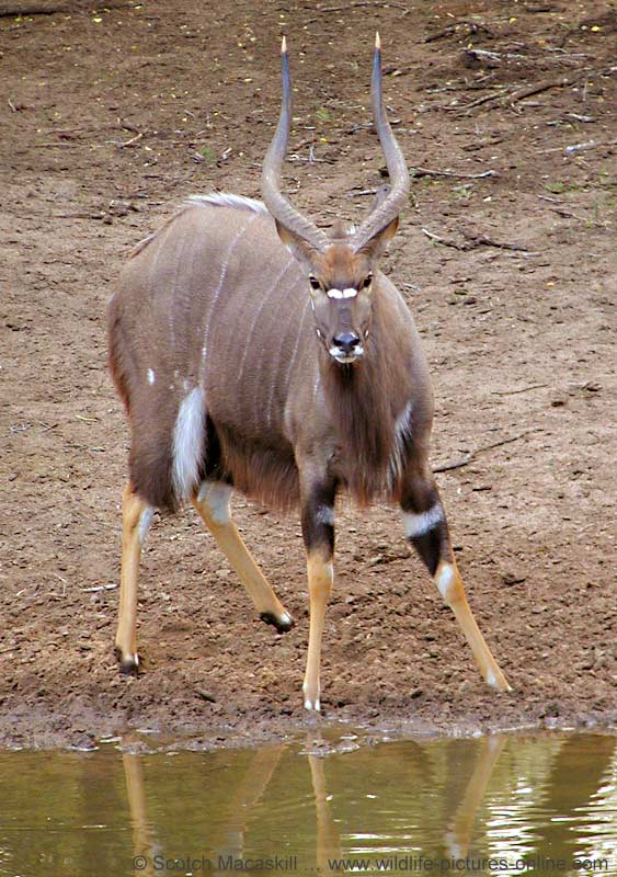 Nyala male at waterhole, Mkuzi Game Reserve, South Africa