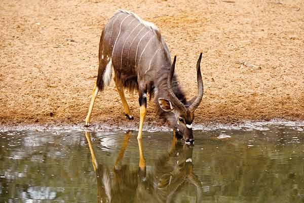Nyala bull at waterhole