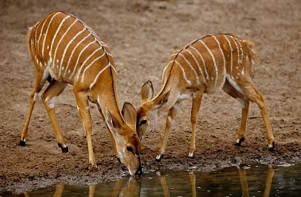 Nyala antelope drinking from waterhole
