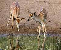 Picture of nyala female and young male
