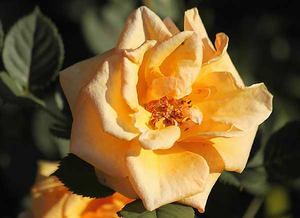 Orange rose in bright sunlight