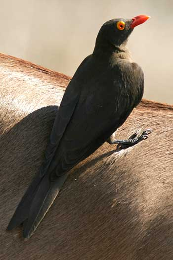 Oxpecker on impala