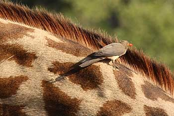 Oxpecker on giraffe's neck, Ruaha National Park, Tanzania