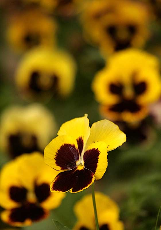 Pansies looking like faces