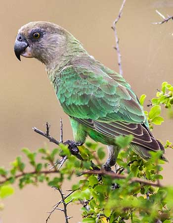 Brown-headed parrot, Kruger National Park
