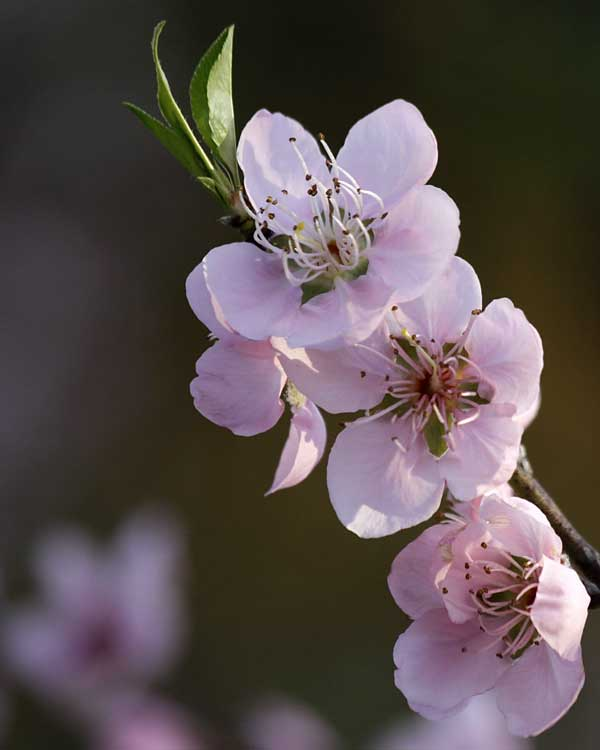 Pink peach blossoms herald arrival of Spring