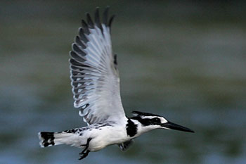 Pied kingfisher in flight above river