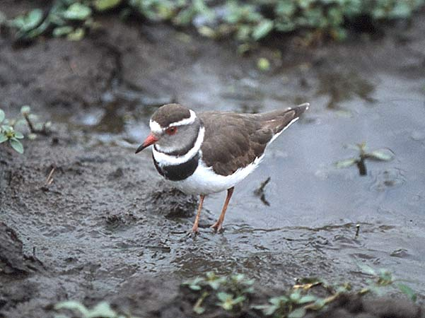 Photo of Threebanded Plover