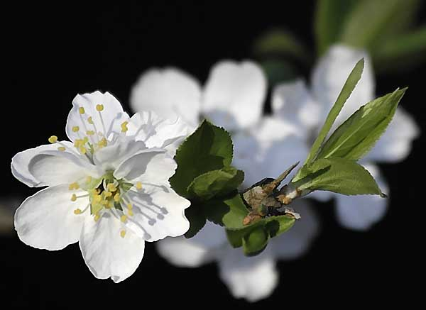 White Plum Blossoms on black background