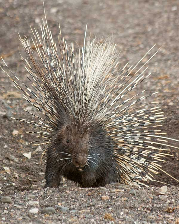 Porcupine emerges from burrow, Mashatu Game Reserve, Botswana