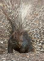 Porcupine leaving burrow, Botswana