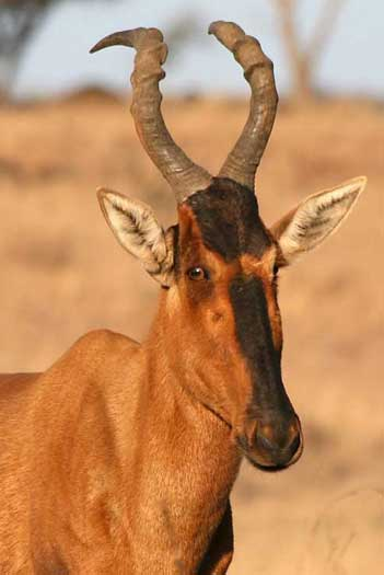 Red hartebeest close-up, Spioenkop Nature Reserve, South Africa