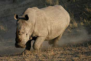 Rhino on the run