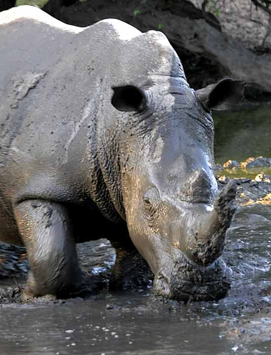 Rhino wallowing in mud