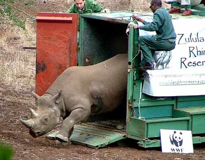 Black Rhino being released