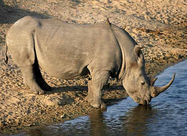 Rhino drinking from dam