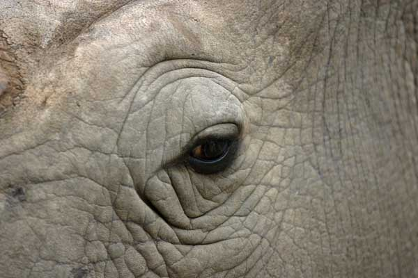 Rhino eye close-up