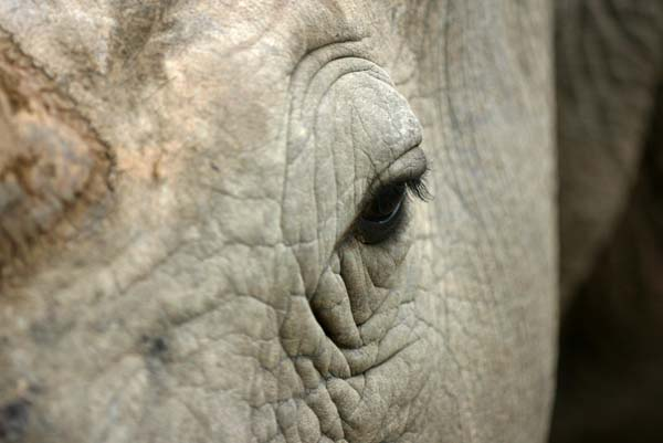 Rhino head-shot, close-up