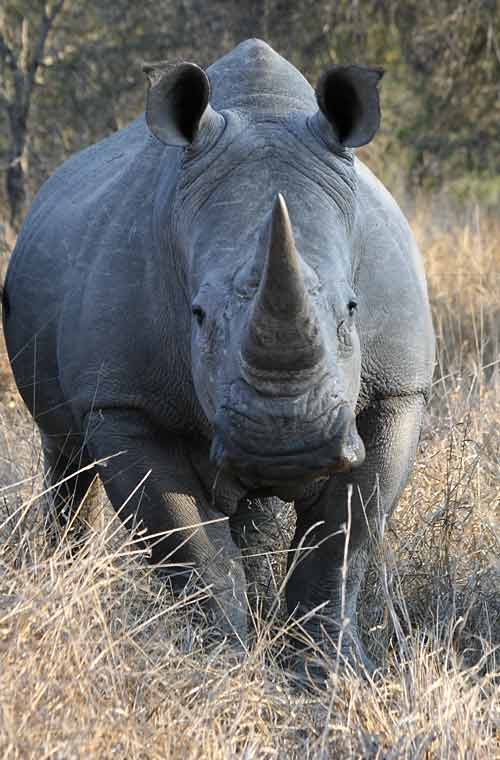 White rhino, front-on view