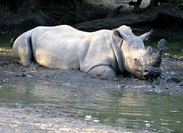 Rhino taking mudbath